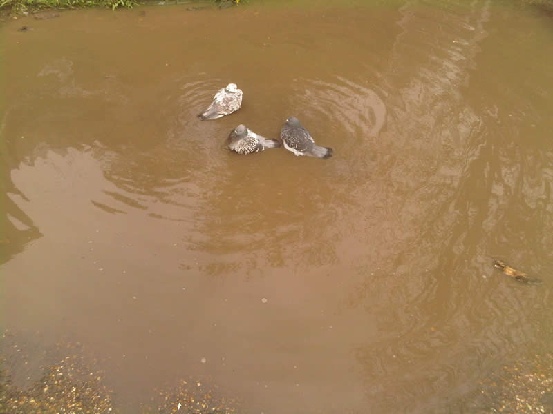 Three pigeons in a puddle